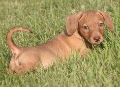 SweetPea adoptable Dachshund puppy from Mechanicsburg, PA
