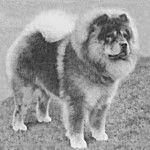 1920 chow-chow.  Dog Evolution - Chow-Chow - Kutya Portál. Kutya Evolúció - Chow-Chow - Kutya Portál.