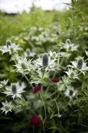Eryngium giganteum 'Silver Ghost'silver ghost thistle