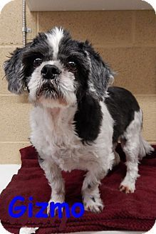 Shih Tzu Mix Dog For Adoption In Erie Pennsylvania Gizmo Dog