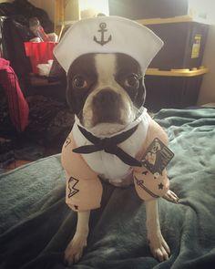 Treats ahoy, Boston terrier