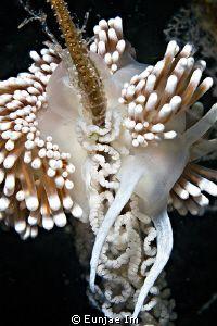 (Sakuraeolis gerberina) Nudibranch laying eggs.