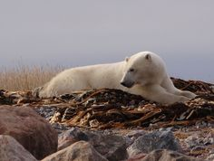 """""""The Overseerer"""" by Bard DeHart: A polar bear at peace looking over his space on a warm October afternoon provided me with a special viewing moment. Resting on a """"bed"""" of kelp and fragmented rocks didn't seem to bother him, though it would not have been my first choice!"""
