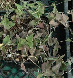 """Ceropegia sp. (Orange River) 2.5"""" pot"""