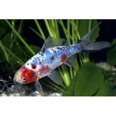 Calico Shubunkin Goldfish - I have six of these, from about 2 inches to close to 4 inches, in various colors and patterns. My favorite is a silver and black with almost a fantail. They're tough and gorgeous!