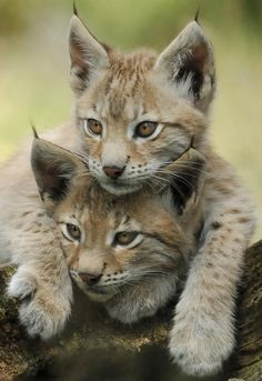 Iberian Lynx kittens ~The Rarest cat in the World. Once found throughout Spain and Portugal, the Iberian lynx is now limited to Andalusia, Spain. The Iberian lynx is smaller than other species of lynx I Love Cats, Big Cats, Crazy Cats, Cats And Kittens, Cute Cats, Small Wild Cats, Beautiful Cats, Animals Beautiful, Beautiful Babies