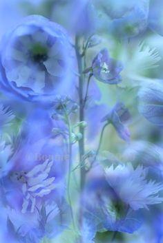 Periwinkle Blue Delphinium 8x10 Fine Art by bbrunophotography, $30.00