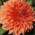 Swan Island Dahlias providing the highest quality dahlia bulbs and dahlia flower - * All Dahlias