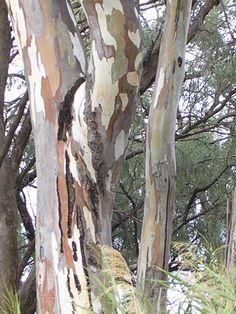 Amazing trees - Mildura, Victoria, Australia Victoria Australia, South Australia, Australia Travel, Painted Trees, Macedon Ranges, Native Australians, Australian Art, Paintings I Love, Landscape Art