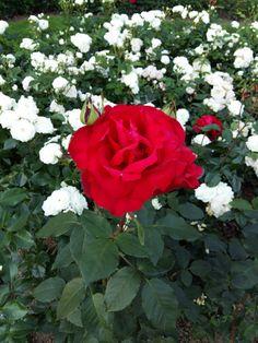 Rose Garden Cologne