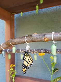 How to Safely Move & Hang a Monarch Butterfly Chrysalis ~ Homestead and Chill butterfly diy How to Safely Move & Hang a Monarch Butterfly Chrysalis ~ Homestead and Chill butterfly decorations Butterfly Cage, Butterfly Food, Butterfly Chrysalis, Butterfly Garden Plants, Butterfly Feeder, Garden Insects, Butterfly House, Monarch Butterfly Habitat, Sun Garden