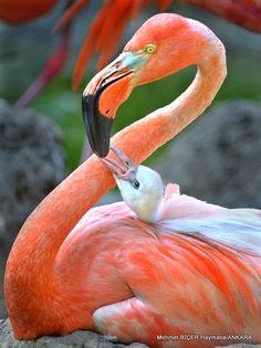 Anne ile yavru Flamingo Kuşu