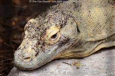 komodovaraan - Varanus komodoensis - Komodo dragon | by MrTDiddy