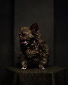 Gusje, chihuahua. Bijna zijn verjaardag - 9 jaar by Sandra van renterghem