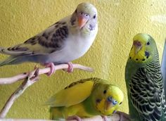 parakeets   Parakeets in assorted colors.