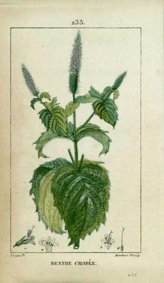 img/dessins-gravures de plantes medicinales/menthe crispee, menthe crepue, menthe frisee.jpg