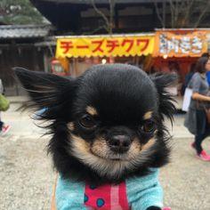 チーズチワワに見えるのはわたしだけ   Li'li'i #chihuahua  #チーズチワワ #りーたんinkyoto #八坂神社 by chihuahuakaachan