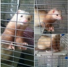 Hello our sandy coloured female ferret some how got out of her hutch/run last night around the commercial road area. Ferret Adoption, Animal Adoption, Animal Control, Ferrets, Find Pets, Lost & Found, The Fosters, Mustard, Dog Cat