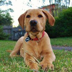 Labrodesian (lab = Rhodesian Ridgeback)  Best Dog Ever!