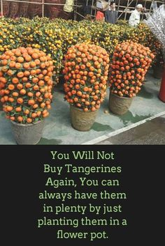 You Will Not Buy Tangerines Again, You can always have them in plenty by just planting them in a flower pot. You Will Not Buy Tangerines Again, You can always have them in plenty by just planting them in a flower pot. Eco Garden, Vegetable Garden Design, Fruit Garden, Edible Garden, Lawn And Garden, Apartment Vegetable Garden, Garden Plants, Planting Fruit Trees, Growing Fruit Trees