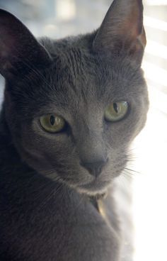 korat cat pictures | korat cat vs russian blue