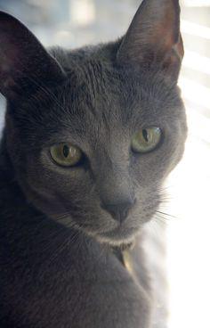 korat cat pictures | korat cat vs russian blue