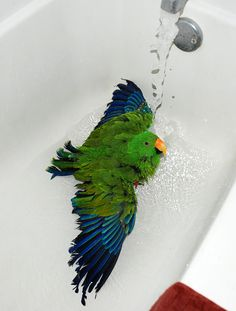 Green eclectus parrot in the bath tub