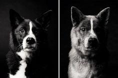 """Há 20 anos a fotógrafa Amanda Jones fotografa cães. Ela publicou um livro chamado """"Dog Years: Faithfull friends Then & Now"""". O livro reúne fotos de cães de várias raças tiradas com o passar dos anos, mostrando o antes e depois, filhotes e idosos."""