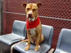Safe - To Be Destroyed 06/03/13 Manhattan Center LILLY A0965963 Female brown/white am pit bull ter mix 5 YRS AVERAGE SAFER She is gorgeous although much too thin. She seems to love to be caressed & talked to. She doesn't care about other dogs outside the gate. She has a friend and that is all that counts.PLS come a be Lilly friend's tonite  b/c tomorrow will be too late https://www.facebook.com/photo.php?fbid=614941118518771=a.611290788883804.1073741851.152876678058553=3