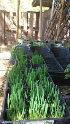 Learning to grow fodder. This is oat.