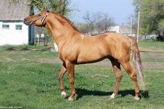 Don - stallion Бруч 207 (Bruch 207)