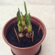 Planting a Narcissus! Wish me luck! Happy Spring Equinox! #springequinox #narcissusplant #blackthumb #plants #mondaymotivation