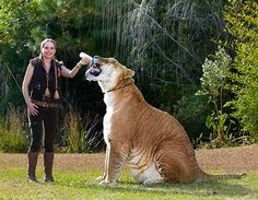 Ligers are generally larger than their two parental species. In contrast, tigons, hybrids resulting from the reciprocal cross (tiger x lioness), are often smaller.