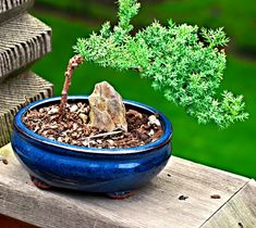 Explications pour cr er un bonsa racines tronc for Entretien d un bougainvillier