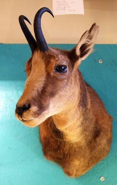 Vintage Taxidermy Chamois Shoulder Mount by mammothcurios on Etsy, $465.00