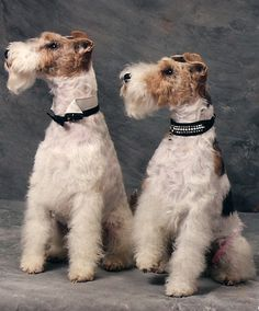 pair of wire-haired fox terriers Fox Terriers, Pitbull Terrier, Perro Fox Terrier, Wirehaired Fox Terrier, Terrier Breeds, Wire Fox Terrier, Airedale Terrier, Terrier Dogs, Dog Breeds