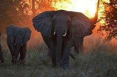 When it comes to safari destinations, Mozambique is one of Africa's best-kept secrets! More than just a beach add on to a safari in another African country, Mozambique holds its own as a bona fide wildlife destination too. Elephant Images, Asian Elephant, Elephant Love, Elephant Art, Elephant Gifts, Animals And Pets, Cute Animals, Wild Dogs, Creature Feature