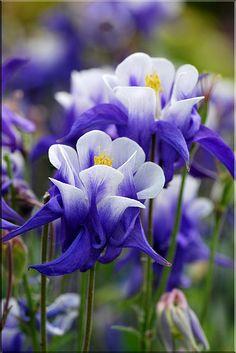 ~~Bonnets of Blue (Granny's Bonnets, Columbines) by Magic_Moments~~