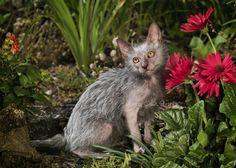 9 nouvelles photos du Lykoi, ce drôle de chat à l'aspect de loup-garou | Buzzly