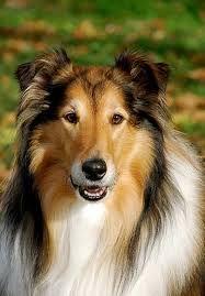 Resultado de imagen para imagenes de perros collies