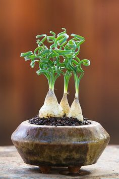 Albuca spiralis, by Keith Kitoi Taylor.  Full sun gives tight curls.