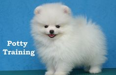 Pomeranian Puppies. How To Potty Train A Pomeranian Puppy. Pomeranian House Training Tips. Housebreaking Pomeranian Puppies Fast & Easy. Share this Pin with anyone needing to potty train a Pomeranian Puppy. Click on this link to watch our FREE world-famous video at ModernPuppies.com