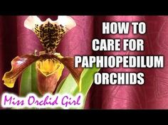 How to care for Paphiopedilum orchids - watering, fertilizing, reblooming - YouTube
