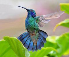 Green Violet-Ear Hummingbird, San Gerardo de Dota, Costa Rica.