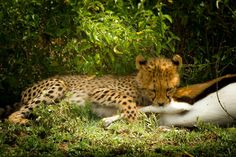 'Cheetah´s Cup / Gerparden Junges' by martin buschmann on artflakes.com as poster or art print $19.41