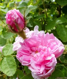 """ Salet "" - Moss rose - Rose-pink, lighter edges, lighter reverse - Moderate fragrance - François Lacharme (France), 1854"