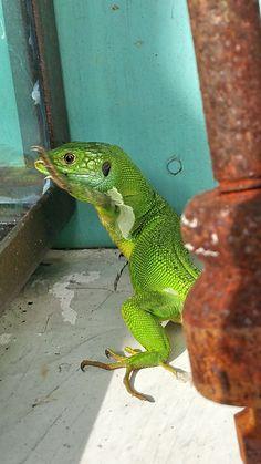 """Lacerta viridis """"Ramarro"""" a Forte dei marmi, sulla porta del mio ufficio... #guidofrilli"""