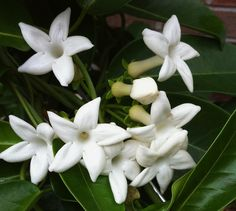 I love the fragrance of my new Jasmine plant which perfumes the air (it's stephanotis)