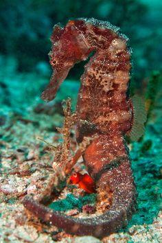 **brown & red seahorse