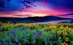HD wallpaper: Nature Landscape Yellow Flowers And Blue Mountain Lake Hills Red Cloud Sunset Hd Desktop Wallpaper Beautiful Scenery Wallpaper, Beautiful Landscapes, Paradise Garden, Oregon Trail, Portland Oregon, Oregon Usa, Central Oregon, Columbia River Gorge, Colorful Garden